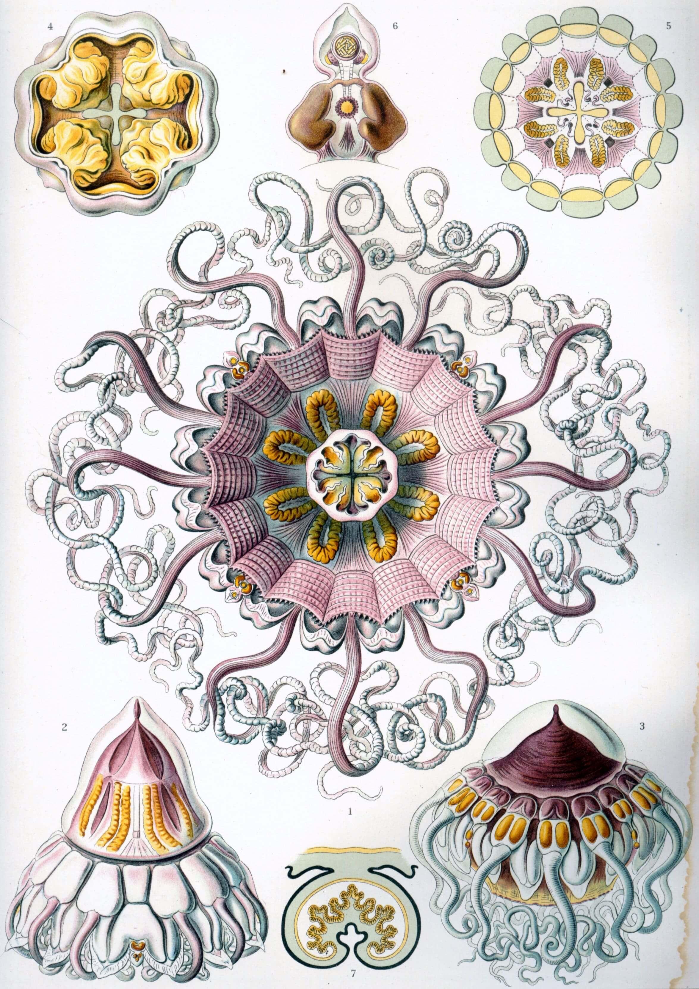Peromedusae - Ernst Haeckel