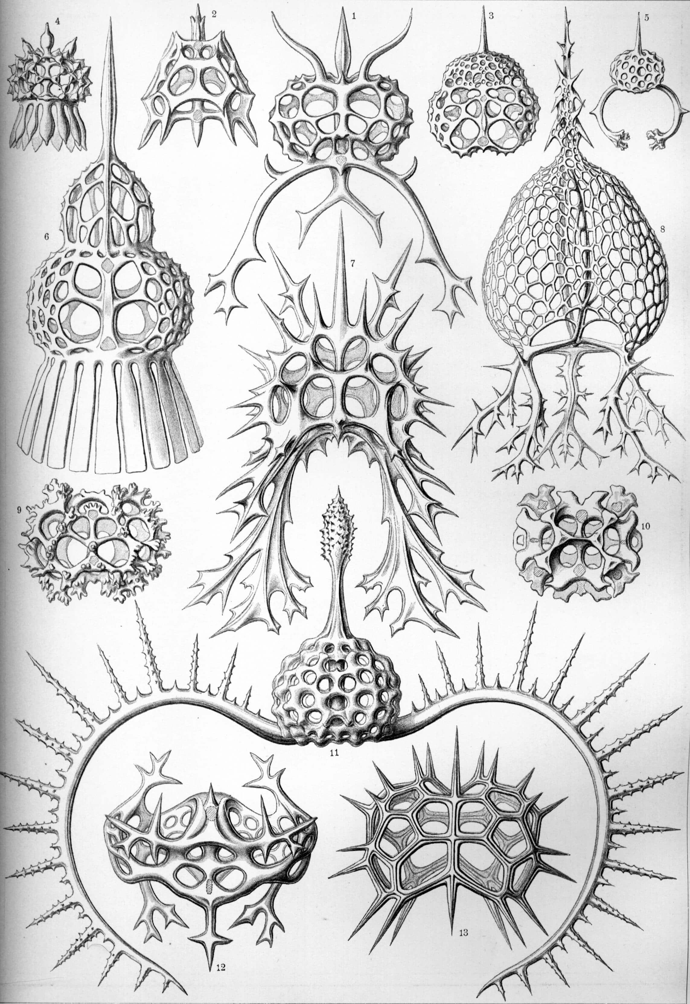 Spyroidea - Ernst Haeckel